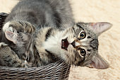 Two cute gray kittens play in a wicker basket on a background of a cream fur blanket
