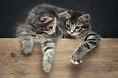 Two cute gray striped kittens rest their paws on a wooden board