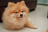close up on pet, small dog breed for pomeranian, it lying down on the granite floor at home