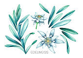Collection of watercolor edelweiss flowers and leaves.