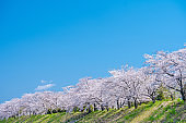 A row of cherry trees in full bloom against the blue sky