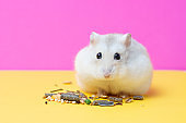 Dwarf hamster eats food on yellow and pink background, the front view