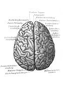 Brain, top view in the old book Meyers Lexicon, vol. 7, 1897, Leipzig