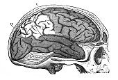 Side view of the brain in the skull in the old book The Encyclopaedia Britannica, vol. 1, by C. Blake, 1875, Edinburgh