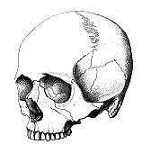 The illustration of skull in the old book die Anatomie, by Fr. Merkel, 1885, Braunschweig