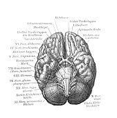 The brain view from the bottom in the old book Meyers Lexicon, vol. 7, 1897, Leipzig