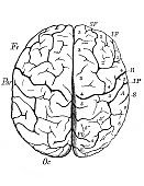 Scheme of brain in the old book The Encyclopaedia Britannica, vol. 1, by C. Blake, 1875, Edinburgh