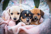 Three little puppies in a blanket