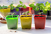 Tomato seedling in colorful plastic pots. Gardening concept.