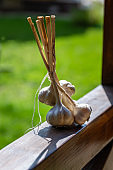 Freshly harvested garlic bulbs,  bunch of white garlic, outdoor. Gardening concept.