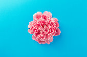 Beautiful pink peony flower head on blue background. Close up, top view, flat lay, copy space.