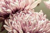 Chrysanthemum petals in soft pink colors. Beautiful pink flowers with blur background. Abstract purple background