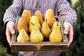 Fresh pears in male hands. Juicy flavorful pears in box, basket. Organic fruit for food or pear juice. Healthy food. Pear harvest.