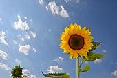 여름의 꽃, 해바라기
