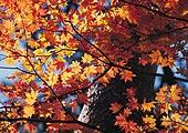 가을 단풍나무 풍경