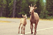 Goat in Canada