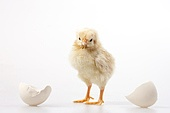 Baby chicken out of egg, studio shot