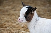 A baby goat on a far