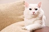 white turkish angora cat is at home