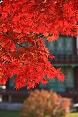가을, 단풍, 향원정, 경복궁, 한국문화재, 클로즈업