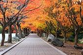 한국의 가을 길, 단풍나무, 가로수, 산책, 낭만