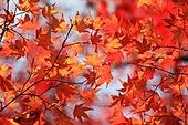 한국의 가을, 단풍나무, 단풍잎, 풍경