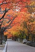단풍나무 가로수길, 내장산, 산책, 낭만