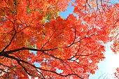 가을, 단풍나무, 단풍잎, 내장산, 단풍 명소, 풍경, 로우앵글