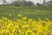 봄 유채꽃 밭