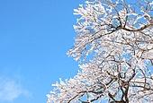 벚꽃 풍경 백그라운드
