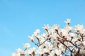 벚꽃 백그라운드
