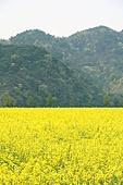 유채꽃 풍경 백그라운드