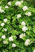 흰색, 꽃, 자연