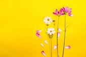 코스모스 꽃잎 백그라운드 카피스페이스