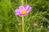 가을 코스모스 꽃 자연 클로즈업