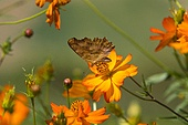 코스모스 나비 클로즈업 자연