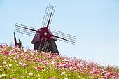 코스모스 꽃밭 만개 풍차 풍경