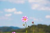 코스모스 클로즈업 아름다움 자연