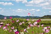 코스모스 아름다움 자연 풍경