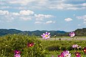 코스모스 아름다움 자연
