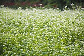 메밀꽃 자연 풍경