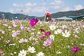 코스모스 꽃밭 만개 자연 풍경