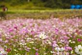 코스모스 꽃밭 만개 자연
