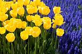 노란색 튤립과 보라색 무스카리꽃