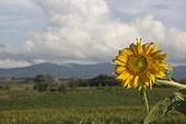 가을, 해바라기 (온대지방꽃), 구름, 꽃