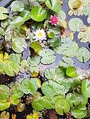 연못 (고인물), 연잎, 수초 (식물), 연못정원 (택지)