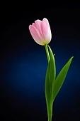 Pink tulip over dark background
