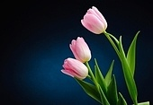 Pink tulips over dark background.
