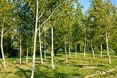공원, 환경, 나무, 자작나무, 숲