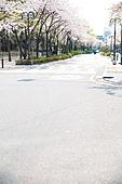 벚꽃, 봄, 도로 (길), 아스팔트